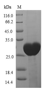 SDS-PAGE- Recombinant protein Human GPX5