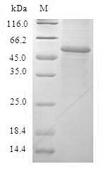 SDS-PAGE- Recombinant protein Human GSTA2