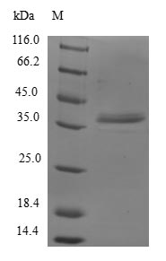 SDS-PAGE- Recombinant protein Human GTF2A2