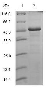 SDS-PAGE- Recombinant protein Human H1F0