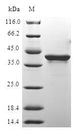 SDS-PAGE- Recombinant protein Human H2AFX