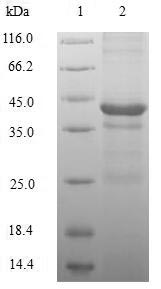 SDS-PAGE- Recombinant protein Human H2AFZ