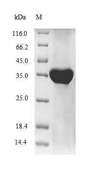 SDS-PAGE- Recombinant protein Human HLA-G