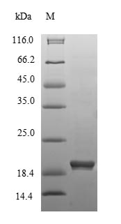 SDS-PAGE- Recombinant protein Mouse Hmgcr