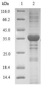 SDS-PAGE- Recombinant protein Human HMGN4
