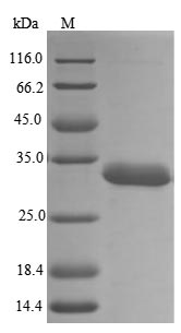 SDS-PAGE- Recombinant protein Human HNRNPA2B1