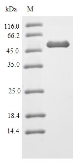 SDS-PAGE- Recombinant protein Mouse Hnrnpa2b1