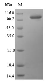SDS-PAGE- Recombinant protein Human HSP90AB1