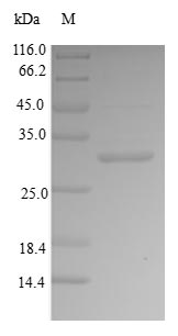 SDS-PAGE- Recombinant protein Human IBSP