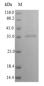 SDS-PAGE- Recombinant protein Human IFNA14
