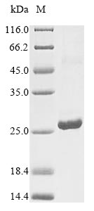 SDS-PAGE- Recombinant protein Human IFNA6