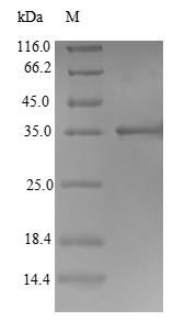 SDS-PAGE- Recombinant protein Bovine IFNW1