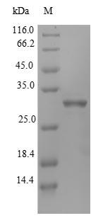 SDS-PAGE- Recombinant protein Rat Igfbp1