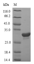 SDS-PAGE- Recombinant protein Rat Igfbp1