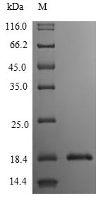 SDS-PAGE- Recombinant protein Human IL3