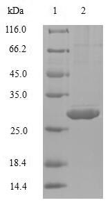 SDS-PAGE- Recombinant protein Human IL-4