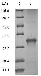 SDS-PAGE- Recombinant protein Sheep IL4