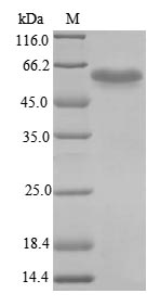 SDS-PAGE- Recombinant protein Mouse Irf3