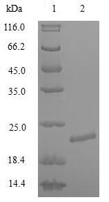 SDS-PAGE- Recombinant protein Human KCNA1