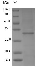 SDS-PAGE- Recombinant protein Human KLK2