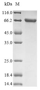 SDS-PAGE- Recombinant protein Human KRT1