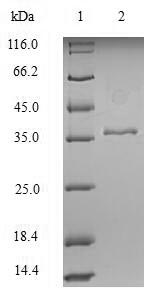 SDS-PAGE- Recombinant protein Human KRT18