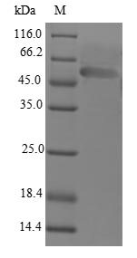 SDS-PAGE- Recombinant protein Human LDB3