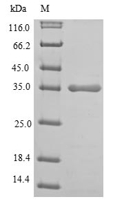 SDS-PAGE- Recombinant protein Human LDHA