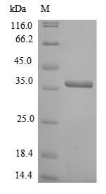 SDS-PAGE- Recombinant protein Rat Lgals4