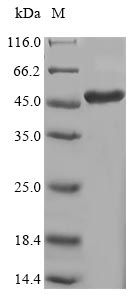 SDS-PAGE- Recombinant protein Human LOX