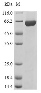 SDS-PAGE- Recombinant protein Mouse Lyn