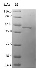 SDS-PAGE- Recombinant protein Human MAGOH