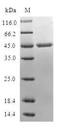 SDS-PAGE- Recombinant protein Human MARCKSL1