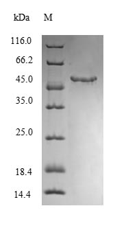 SDS-PAGE- Recombinant protein Mouse Mgll