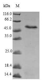 SDS-PAGE- Recombinant protein Human MLF1