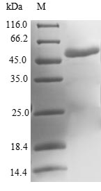 SDS-PAGE- Recombinant protein Human MOCS2