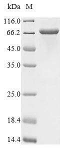 SDS-PAGE- Recombinant protein Human MRC1