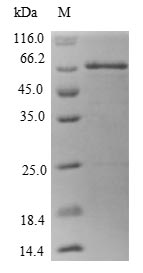 SDS-PAGE- Recombinant protein Human MRPS22