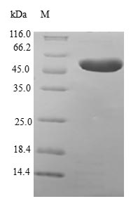 SDS-PAGE- Recombinant protein Human MTX2