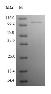 SDS-PAGE- Recombinant protein Rat Ncam1