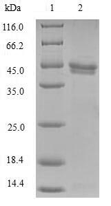 SDS-PAGE- Recombinant protein Human NCBP2