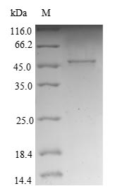 SDS-PAGE- Recombinant protein Human NDUFB10