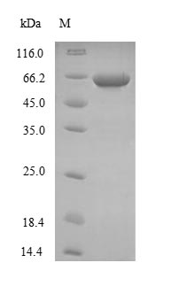 SDS-PAGE- Recombinant protein Human NEFH