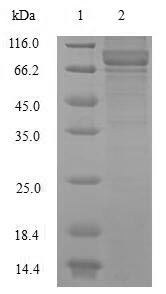 SDS-PAGE- Recombinant protein Human NEFL