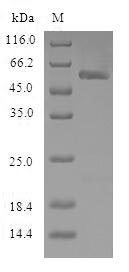 SDS-PAGE- Recombinant protein Human NNMT