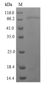 SDS-PAGE- Recombinant protein Human NR1I2