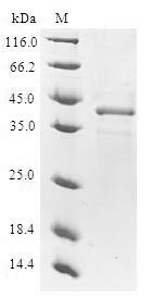 SDS-PAGE- Recombinant protein Human NUTF2