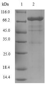 SDS-PAGE- Recombinant protein Human ODC1