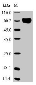 SDS-PAGE- Recombinant protein Human OPTN