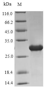 SDS-PAGE- Recombinant protein Human OXT
